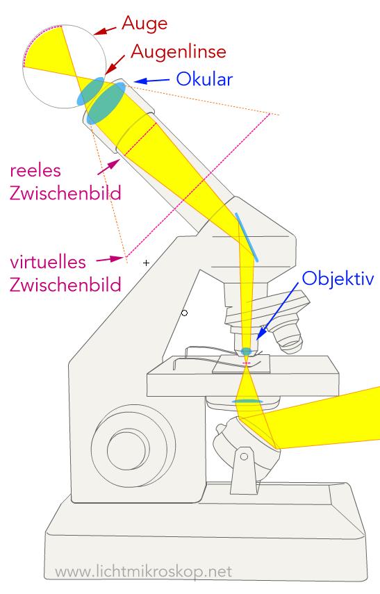 Wie funktioniert ein Mikroskop? (Funktion Lichtmikroskop)