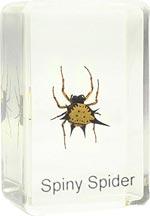 Dauerpräparat Spinne